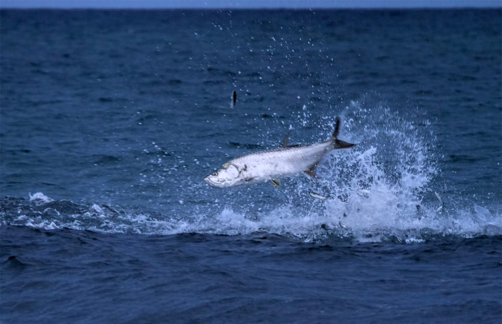 fish florida mullet run