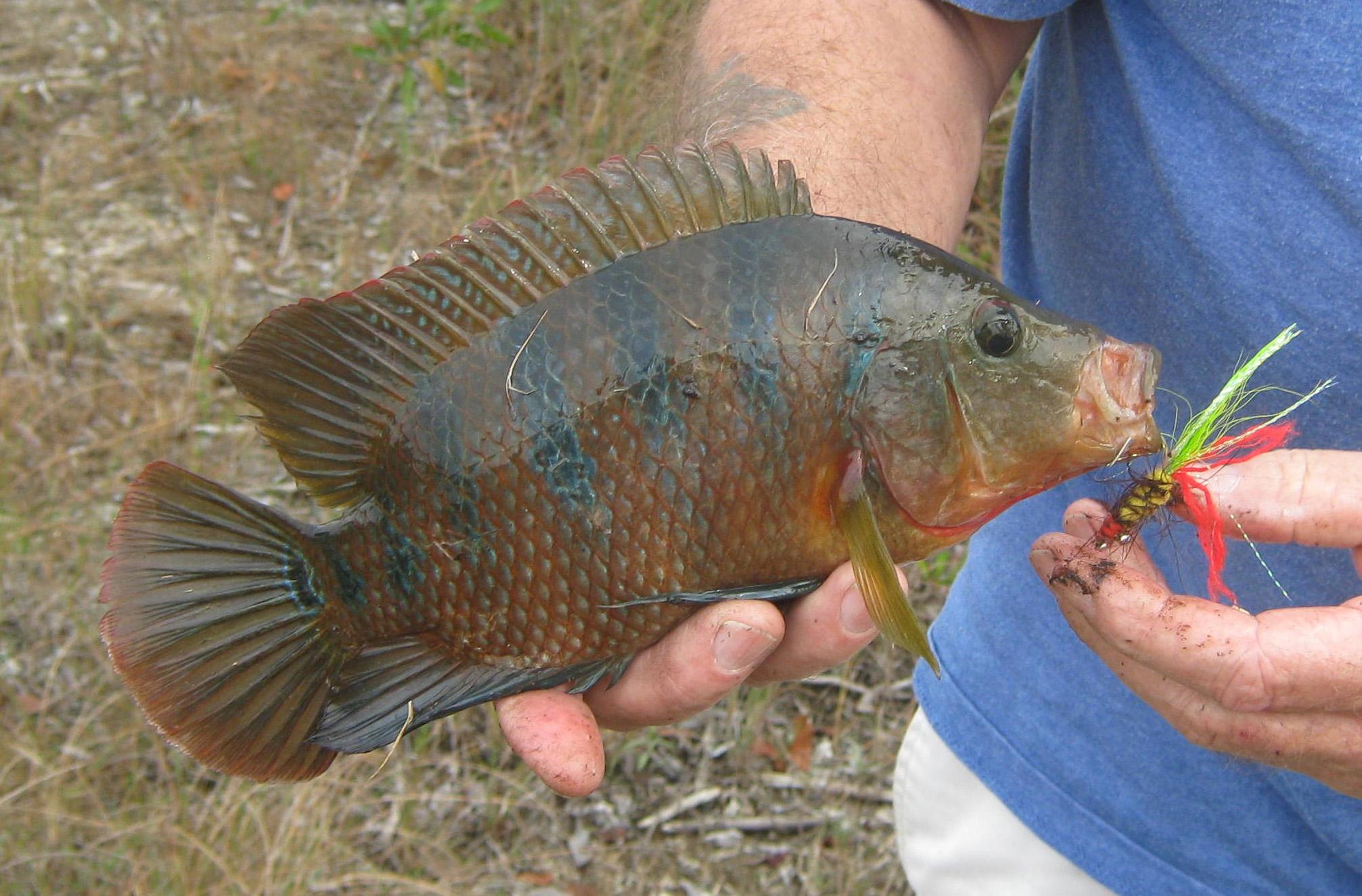 Cichlid Fish | Fly Fishing For Cichlids Florida Sportsman