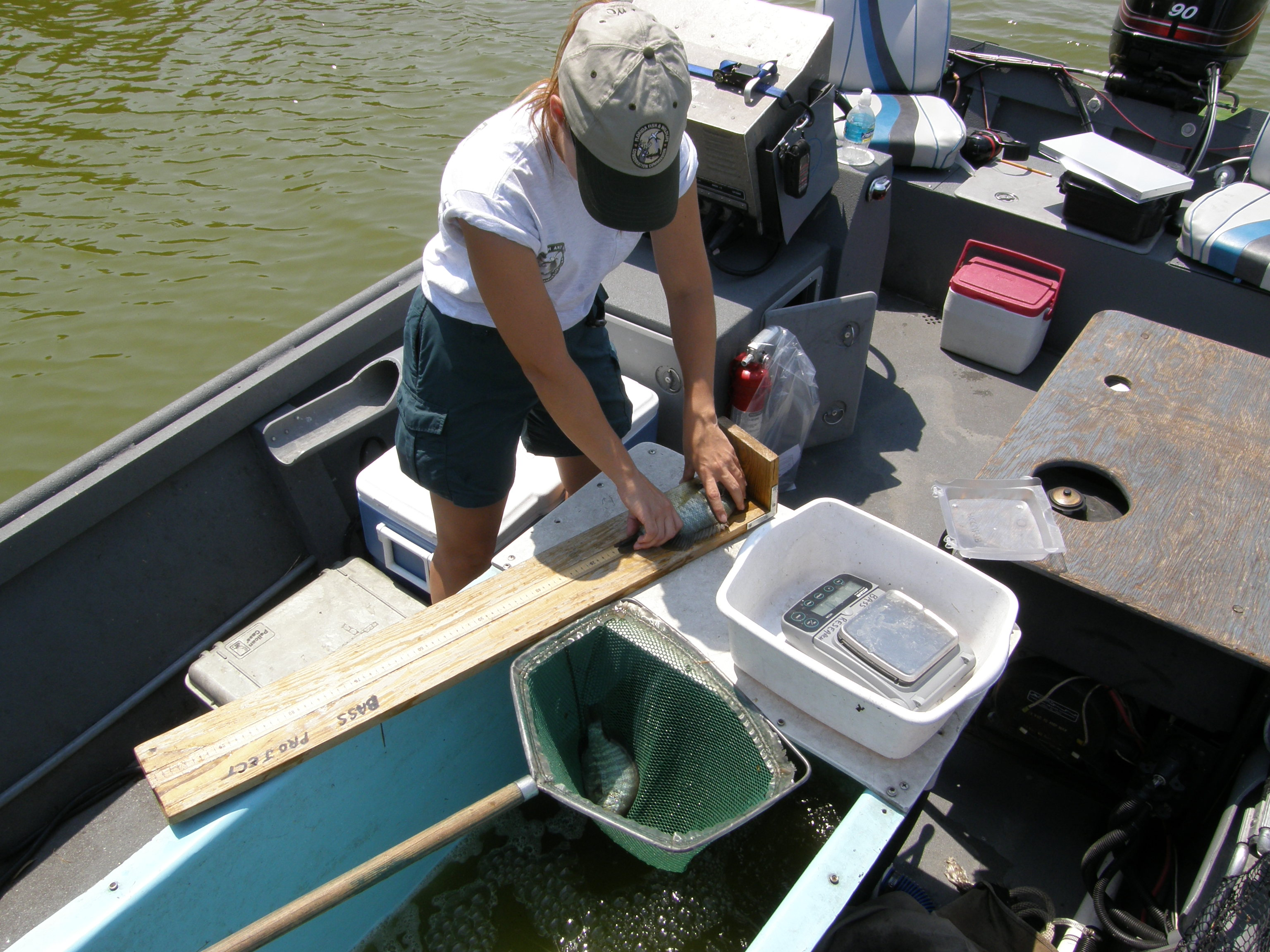 Biologist Measuring Fish During A Routine Sampling Trip