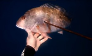 Freediving and Spearing