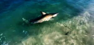 Palm Beach Shark