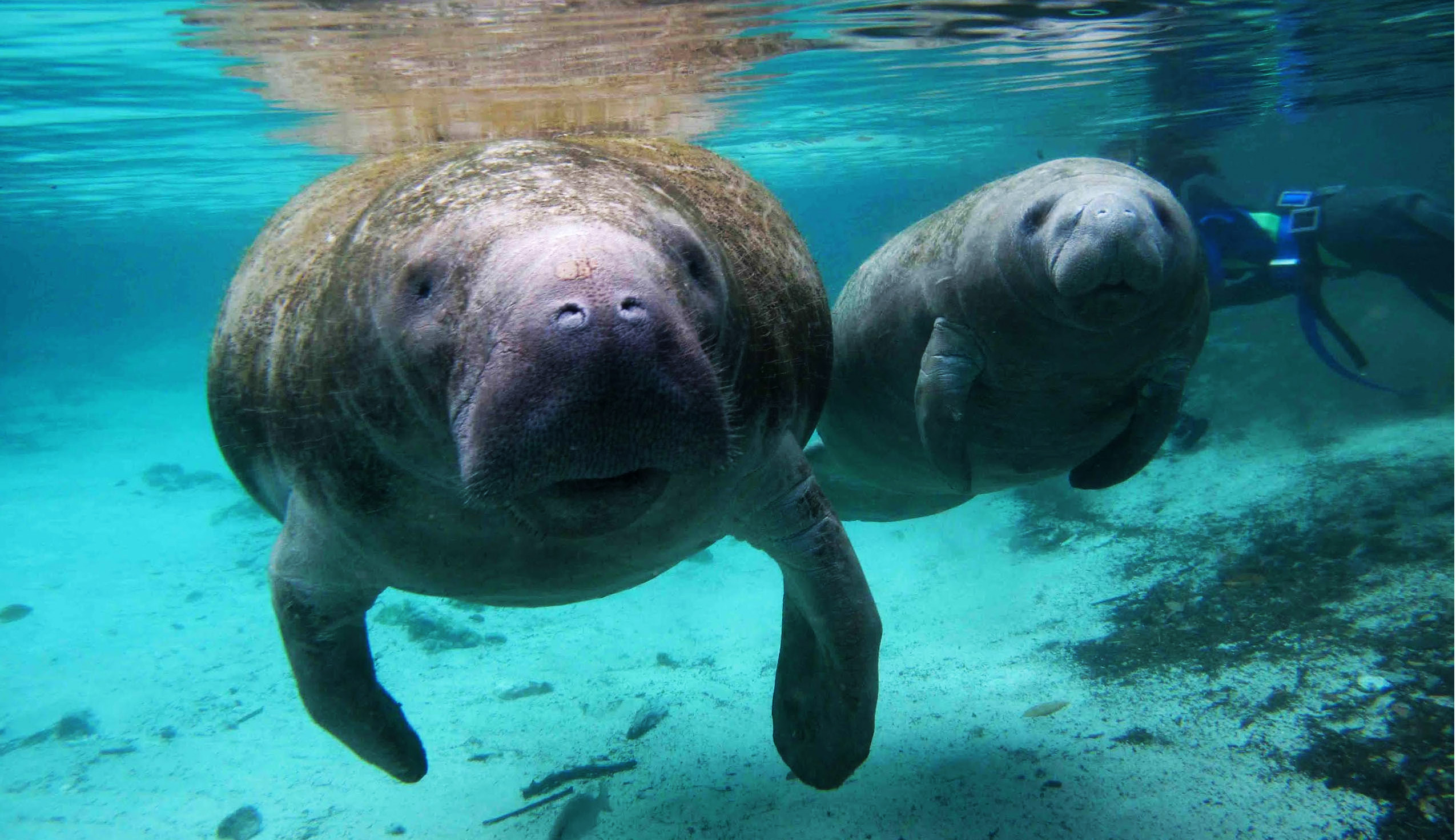 Manatee Reclassified