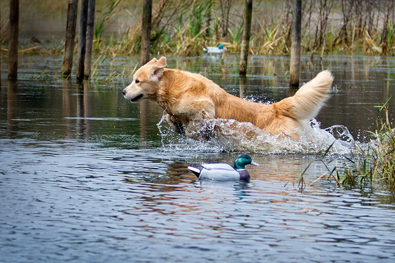 retriever bird hunting dog