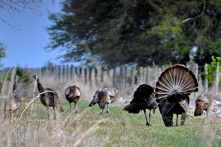 strutting turkey hunting