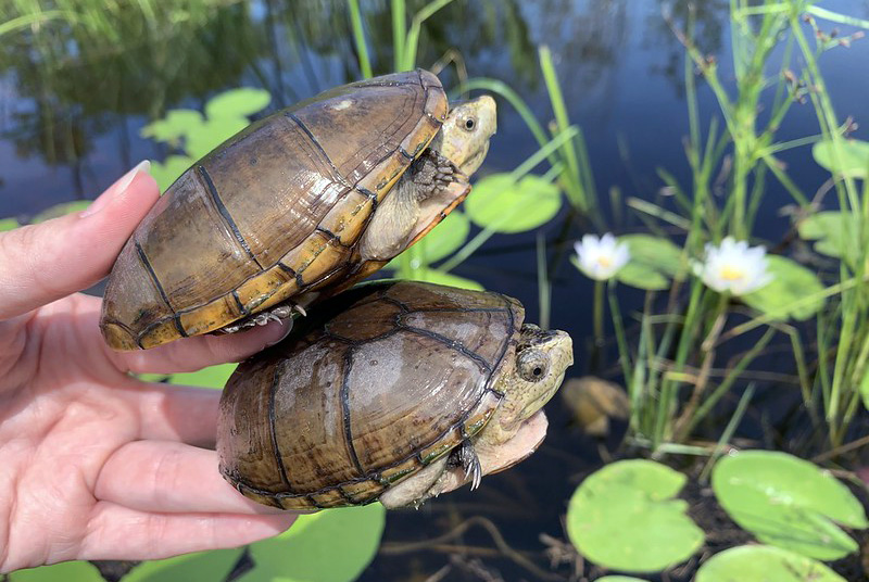 FWC Busts Trafficking Ring Smuggling Thousands of Turtles