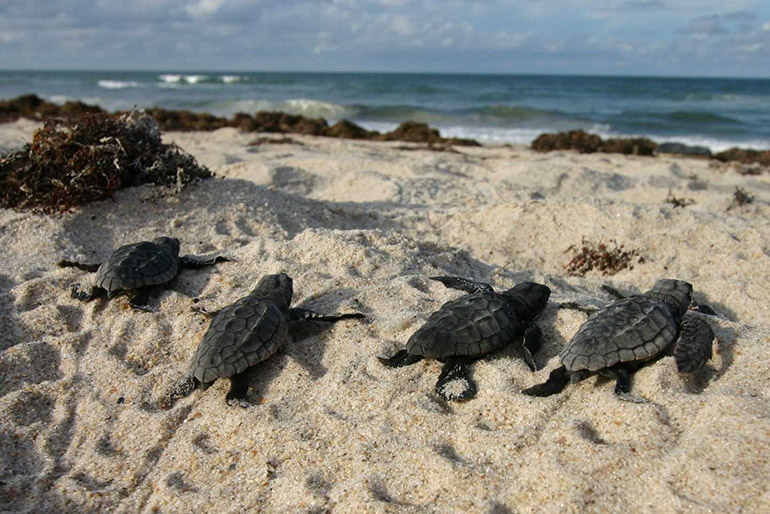 Florida's Sea Turtles Benefit from Empty Beaches