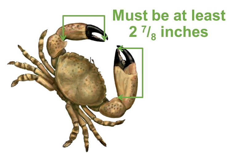 new stone crab claw size