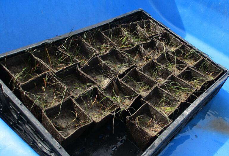 fort pierce seagrass restoration