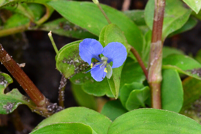 which florida weeds are edible