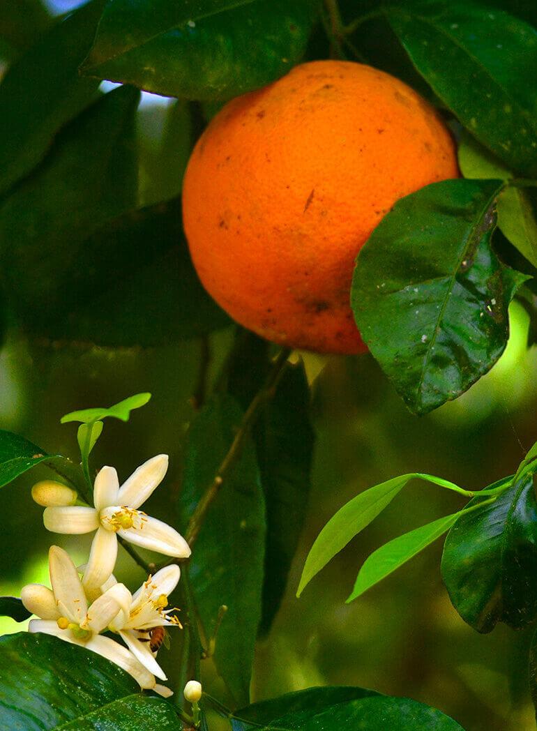 sour orange florida citrus