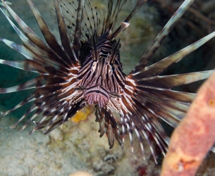 Lionfish Dive