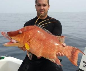 Stoned Hogfish