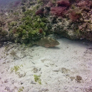 Grouper on Patrol