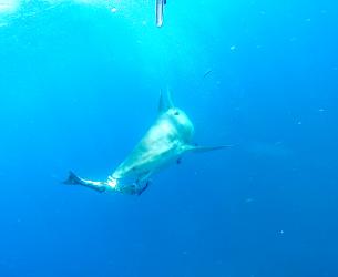 Cuda Destroyed By Bull Shark