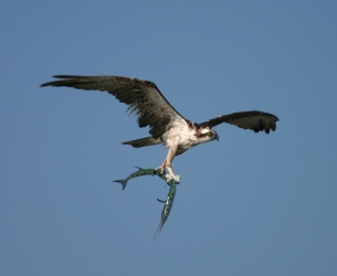 An Osprey Takes the Catch