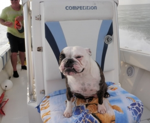 Ruby, a four year old French and English bulldog mix rides shotgun on most trips. GT Fish rides in the back.