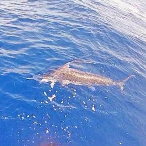 Northeast Marlin